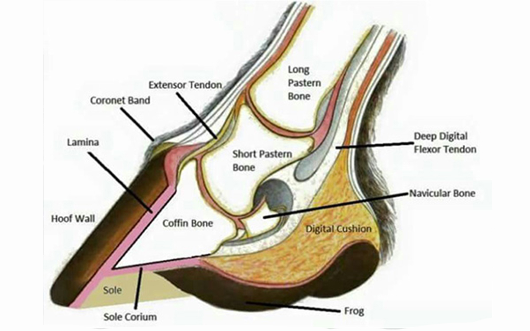 Anatomy of the hoof